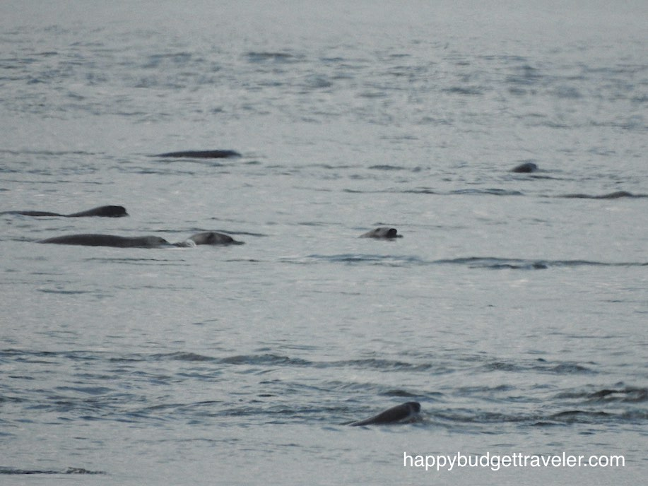 Seals in St. Catherine Bay-Quebec.