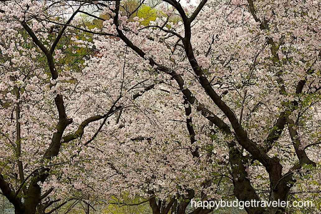 Cherry blossom trees at High park, Toronto-Canada