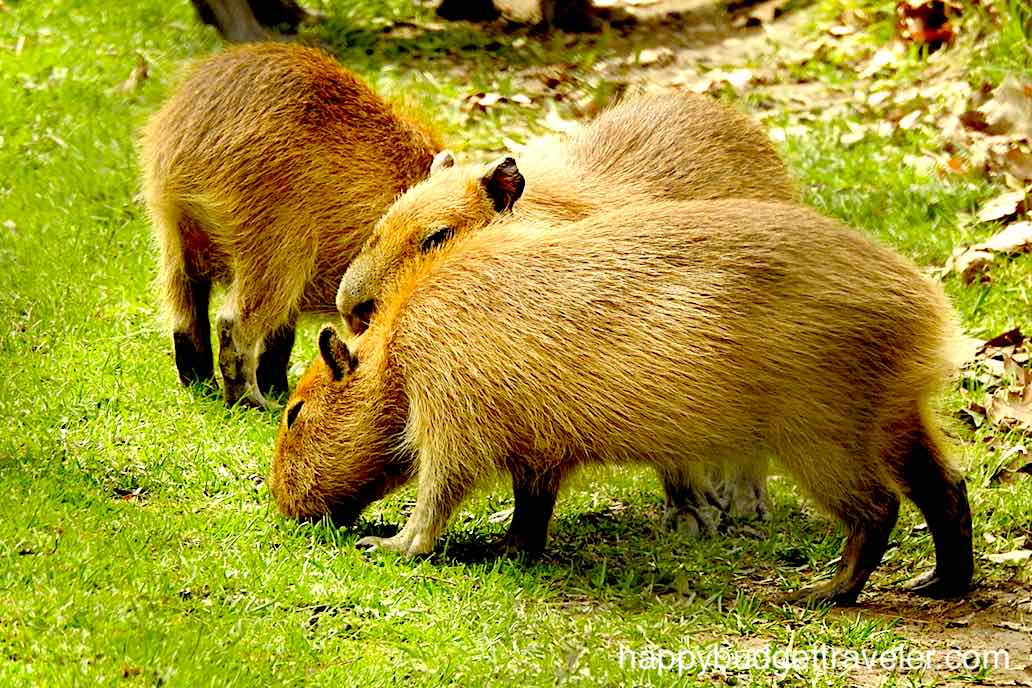 Capybara at High Park Zoo, Toronto.